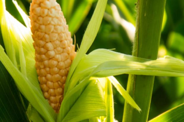 Кукуруза – овощ без глютена